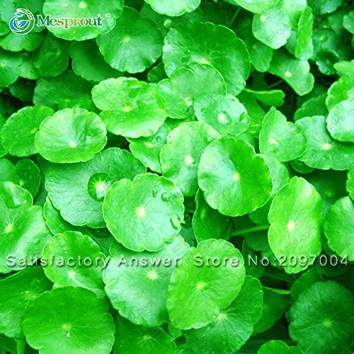 Promotion! graines 100PCS Dichondra Repens gazon Hanging Jardin des Plantes décoratives Bonsai facilement en pot 100% Vrai semences