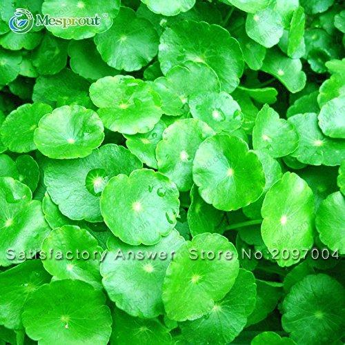 Promoción! semillas 100PCS Dichondra Repens sobre hierba de jardín colgante decorativo Plantas Bonsai fácilmente en maceta 100% de semilla verdadera: Amazon.es: Jardín