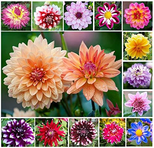 Mix Color Rare Dahlia Seeds for Planting Outdoors Home Garden Decor