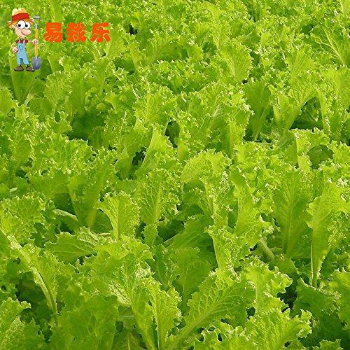 20 graines / paquet Crème Laitue semences Balcon Jardin Crisp Lose Seeds Poids Jardin Décoration Bonsai Fleur