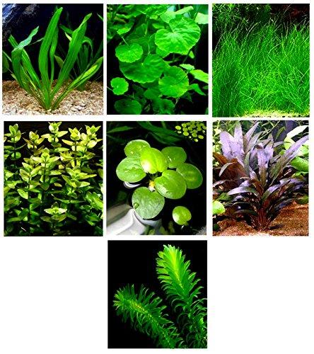 15 plantas de acuario vivas/7 tipos diferentes – Espada de Amazon, césped enano y mucho más. Gran muestrario de plantas para 5 – 10 galones. tanques!