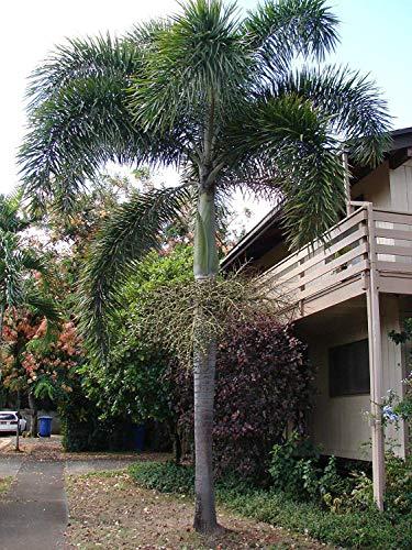 vegherb ~ Palm Nuts ~ Wodyetia bifurcata 85 Big Parrot Ara Bio-Leckereien frische Samen