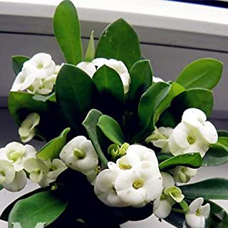 Lioder 100Pcs Rare Euphorbia Milii Hybrids Plant Seeds Big Flowers Crown of Thorns Seeds Potted Bonsai Plants for Home Garden