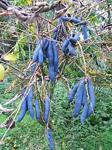 Blaugurke Decaisnea fargesii Pflanze 45-50cm Blauschote Blaugurkenbaum Rarität