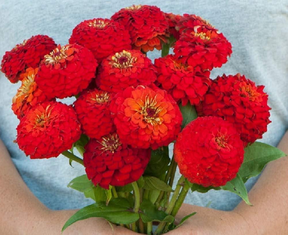 David's Garden Seeds Flower Zinnia Oklahoma Scarlet 1153 (Red) 100 Non-GMO, Open Pollinated Seeds