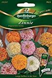Zinnie 'Peppermint', 1 Tüte Samen