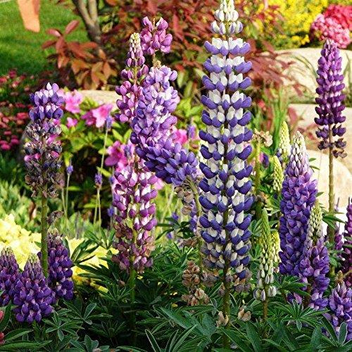 Doubleer 100pcs couleur de mélange Lupin Graines-Russell de Fleurs