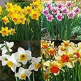 Portal Cool 400X Double Narcissus de mixte Duo bulbes Graines Fleur Decorra Plante Printemps