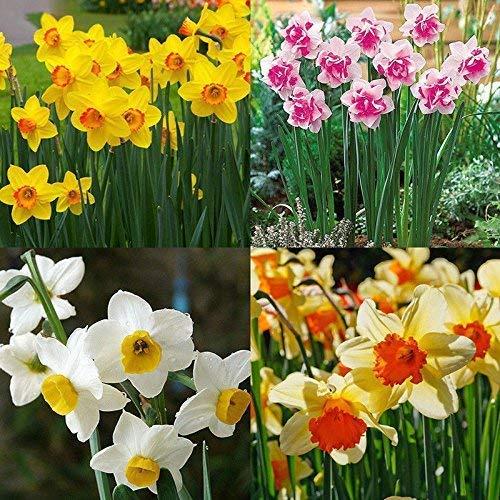 Portal Cool 400X Mixed Narzisse Doppel Narcissus Duo Birnen Samen Frühling Pflanze Blume Decorra