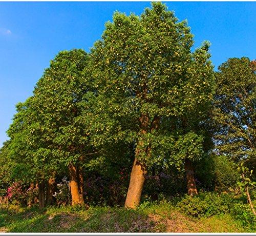La Terra @ Grandi sempreverde alberi di canfora albero Seeds 15