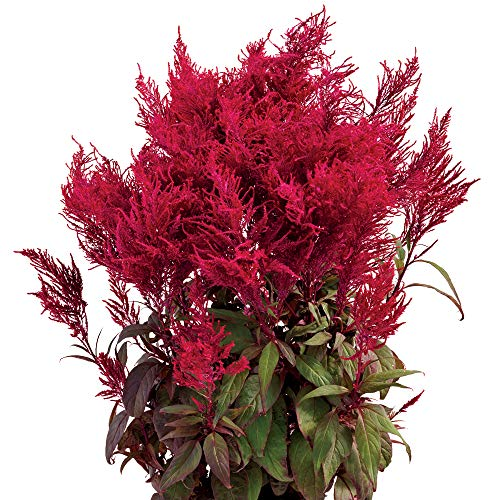 Park Seed Dragon's Breath Celosia Seeds - Celosia Flower Seeds - Pack of 10 Seed