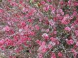5 Semillas de Leptospermum scoparium Nueva Zelanda del...