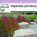 SAFLAX - Erba del sangue giapponese - 50 semi - Imperata cylindrica