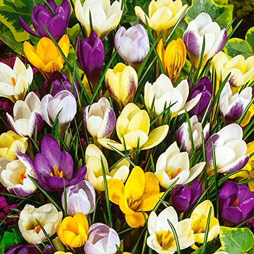 50x Crocus chrysanthus | 50er Mix Balkan Krokusse Großpackungen | Krokusse Zwiebeln winterhart | Blumenzwiebeln Frühblüher Ø 5-7 cm