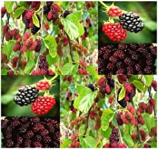 50 x Black Mulberry Fruit - Tree Seeds - Morus nigra ~ SHADE TREE with EDIBLE FRUITS - Zones 6 -10 - By MySeeds.Co