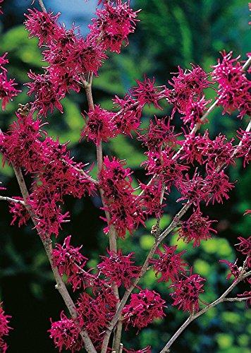 Weinrote Zaubernuss Feuerzauber - Hamamelis intermedia Feuerzauber - weinrot-violett leuchtend winterblühend - Strauch mit angenehmem Duft - von Garten Schlüter - Pflanzen in Top Qualität