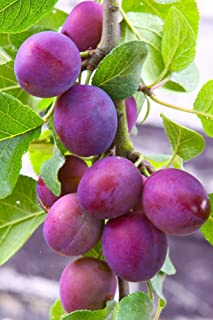 purple plum shrub