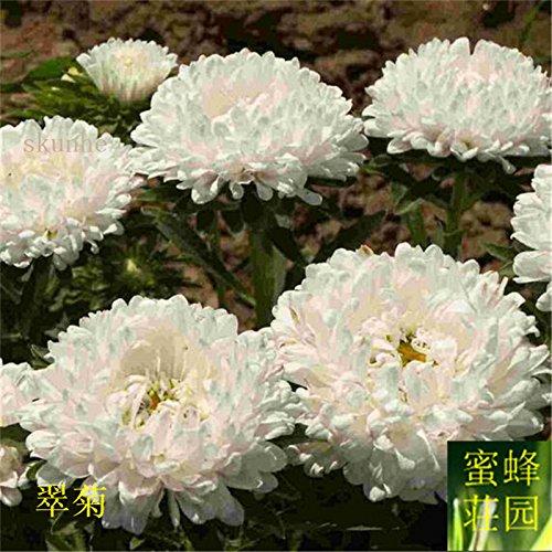 Aster graines de graines de fleurs de vanille Variété de la cire turquoise Jiangxi graines chrysanthème environ 100 graines 9