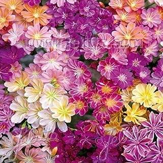 50 Seeds: outsidepride lewisia Rainbow Mix Flower Seeds