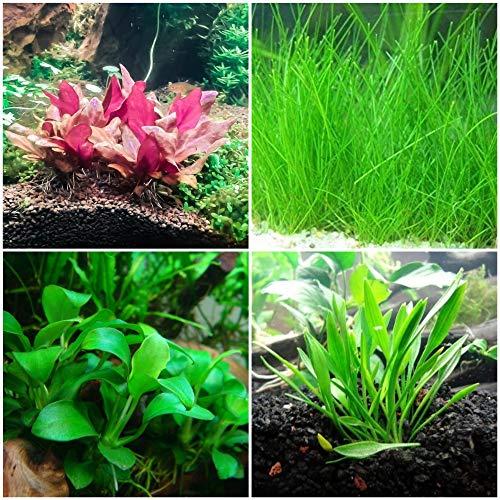 Tissue Culture Cup Bundle | Foreground Aquarium Plants - Anubias, Crypt Parva, Alternanthera Reineckii, Dwarf Hairgrass - Snail and Parasite Free Guaranteed