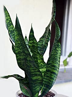 """Black Snake Plant - Sanseveria - Almost Impossible to Kill - 4"""" Pot From Jm Bamboo"""
