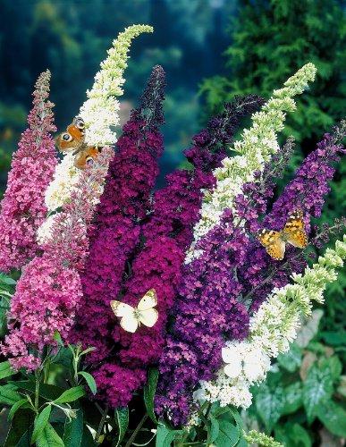 Sommerflieder-Sortiment 3 Stück: je eine Pflanze Buddleia davidii 'Empire Blue', Pink Delight' und 'Royal Red' (bei Lieferung ca. 2-3 triebig, 30-40 cm hoch, im 2 Liter Topf)