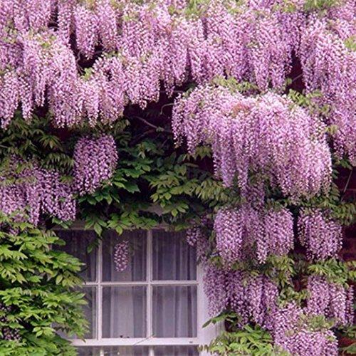 Acecoree Samen Haus- Blauregen Wisteria Sinensis Samen Blume Saatgut Kletterpflanze Samen Zierpflanzen winterhart mehrjährig für Ihre Garten& Haus