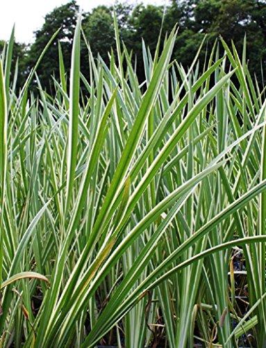 Wasserpflanzen Wolff - Acorus calamus 'Variegatus' - weiß-grün-gestreifter Kalmus