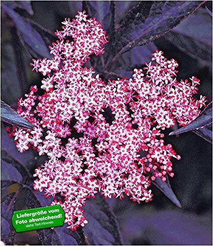 BALDUR Garten Schwarzer Holunder 'Sambucus nigra' winterhart, 1 Pflanze Holunderbeere Fliederbeere