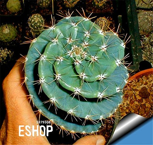 New Arrival!10 Seed/Pack mini cactus seed (Astrophytum) succulents plants seeds DIY home garden Rare flower Flores,#OEPPEE
