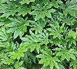 Fatsia Japonica aka Japanese Aralia ... 25 seeds