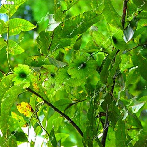60pcs/sac des pièces exotiques Cuivre Willow graines vivaces Paliurus Hemsleyanus Potted fil Bonsai usine de décor de jardin