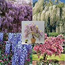 RARE Very hard to find them all: 5 different colors of Wisteria, package of 25 seeds, 5 each color
