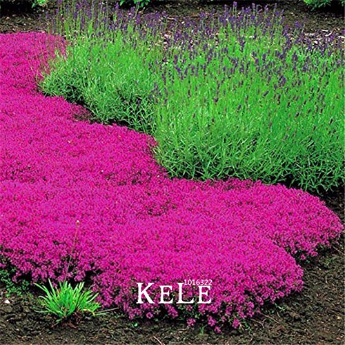 ! Véritable Creeping Seeds Thyme - Parfait pour bordure de fleurs, les jardins de roche, les allées, les graines patios fleuris, 100 pièces / sac
