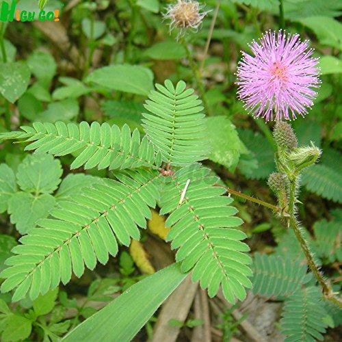 Mimosa des graines de plantes Singular, simples plantation, jardin, fleur magique, intérieur en pot les plantes, bonsain, fournitures de jardin