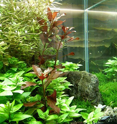 Mühlan – über 120 Aquarium-Pflanzen in 16 Bunde – großes farbiges Sortiment für 200 Liter Aquarium - 3