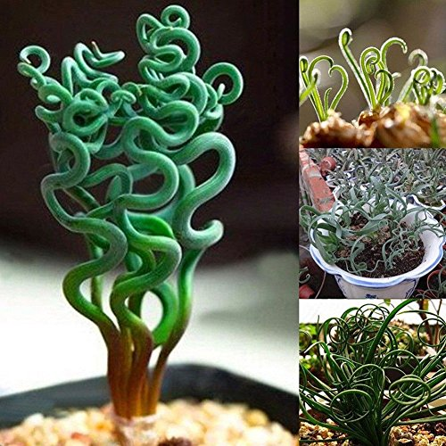 Opla3ofx 200Pcs Rare Succulents Plant Home Garden Magic Spiral Spring Grass Bonsai Seeds Seeds for PlantingIdea Outdoor and Indoor Ornament