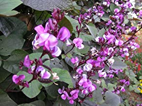 Hyacinth Beans Vine Seeds Rare Purple Vegetable for Planting Giant Non GMO 4 Seeds