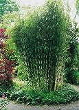 """Horstbildender Bambus""""Pingwu"""" (Fargesia robusta) - Winterharte Bambus-Pflanze ohne Ausläufer von Garten Schlüter"""