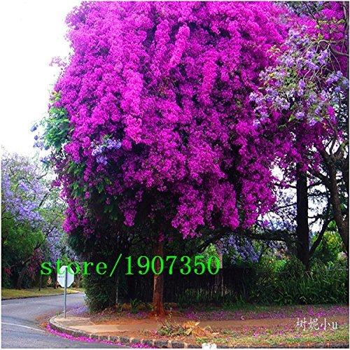 I colori luminosi Lagerstroemia Indica Seeds 100pcs, Famiglia Lythraceae Crape Myrtle Seeds, lungo periodo di fioritura Myrtle Seeds