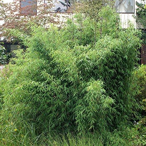 Pflanzen Kölle Bambus-Fargesia Jiuzhaigou 1, Höhe 80-100 cm, im 7,5 Liter Topf