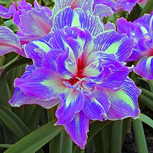 Los Bulbos De Amarilis, Las Flores De Amarilis Son De Color Brillante, Las Flores De Bulbo Resistentes Y Fuertes Los Bulbos Perennes En El Jardín Son Hermosos-2-bulbo,Púrpura
