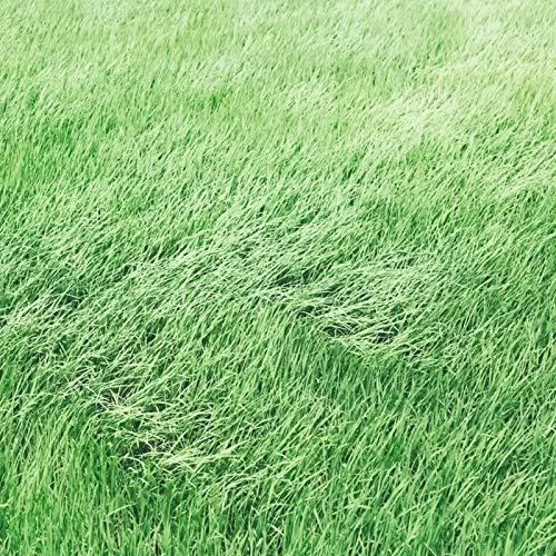 Las semillas de césped, 1 de semillas de pasto verde bolsa de resistencia resistente al pisoteo Buena Sombra verde oscuro por temporada Césped Builder para jardinería Ideal regalo al aire libre