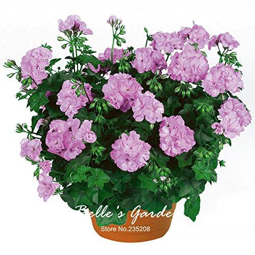 5pcs Couleurs multiples Variétés Géranium Graines Bonsai Pelargonium vivaces Graines de fleurs Hardy Patio Plante Plante en pot bricolage 12