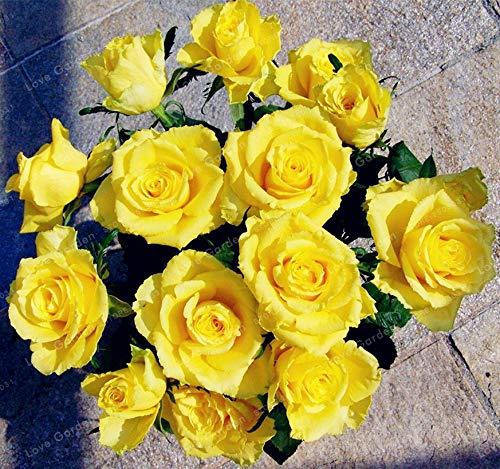 Bloom Green Co. 100 Unids Raras Bonsai Flor de Rosa Amarilla Bonsai Jardín de BRICOLAJE Brillante Y Hermosas Flores en Maceta Bonsai Balcón Bonsai Planta