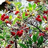 Future Exotics Westlicher Erdbeerbaum Arbutus unedo winterhart ca. 70-80 cm