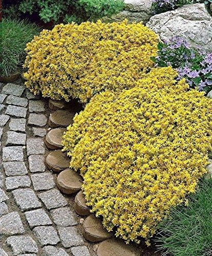 1000 Sedum acre - Golden tapis, couverture du sol jaune Orpin Fleur Seeds-