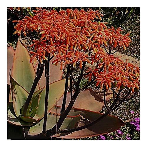 Aloe striata - Aloè de corail - 20 graines