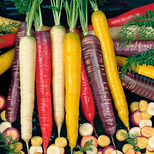 Ultrey Samenshop - 50 Stück Bio Sommermöhren F1 Samen Bunte Möhren Karotte-Mix Samen Salat- Gemüsemöhre Gemüsesamen winterhart mehrjährig für Garten Balkon/Terrasse