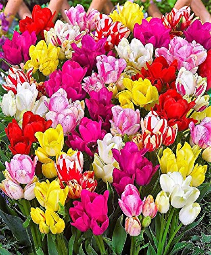 100x gemischte Frühlings Tulpenzwiebeln Frische Zwiebeln mit höchster Keimrate